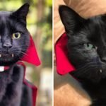 Dra-catto Is That You? This Rescue Cat Goes Viral For His Vampire-Like Fangs